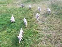 Weimaraner puppys For Sale
