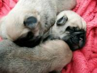 3/4 Pug puppys PRICE REDUCED