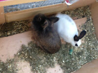 Nice beautiful rabbits for sale £10 each