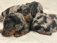 Dachshund puppies x6