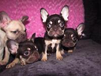 KC Registered French Bulldog Puppies READY NOW