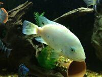 American cichlids fish