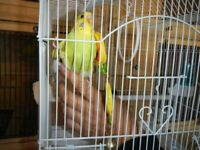 MARLEE BIRD THE HAND TAME BABY BOY BUDGIE AND CAGE