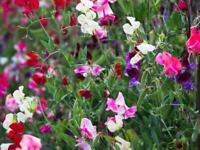 Mixed coloured sweet pea plants