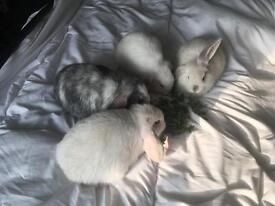14 weeks old rabbits
