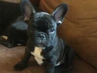 2 K.C Reg French Bulldog puppies for sale