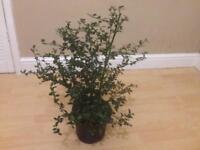 Ceanothus 3l pot shrub plant