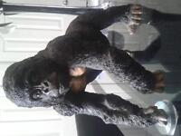 Young and powerfull gorrilla very heavy