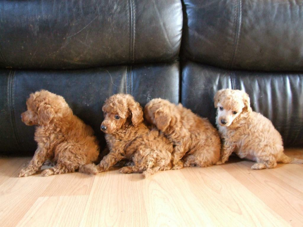 Toy Poodle Pups For Sale Uk Reduced Due To Time Wasters Kcreg Pups