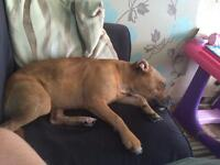 Staffy pup 10 months old