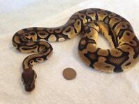 Royal/Ball pythons-Snakes