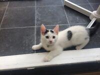 11week old female kitten