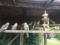 Cockatiels for salw