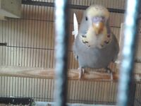 Budgie chicks for sale.