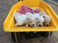 Four beautiful jug puppies
