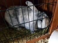 Two bunnies buck and doe