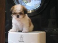 Beautiul Toy shih tzu pups , girls & boys ,honey and white , Full bred £295 Really fluffy puppies