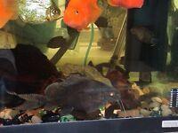 "Synodontis catfish at least 4"" or 10cm long for fish tank aquarium wembley kofh"