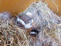 Beautiful Baby Dutch rabbits
