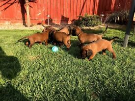 Beautiful Bavarian mountain hound puppies for sale