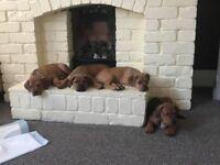 Dogue de bordeux/bullmastiff puppies