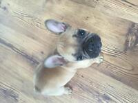 10-week old Female French Bulldog Looking for a New Home