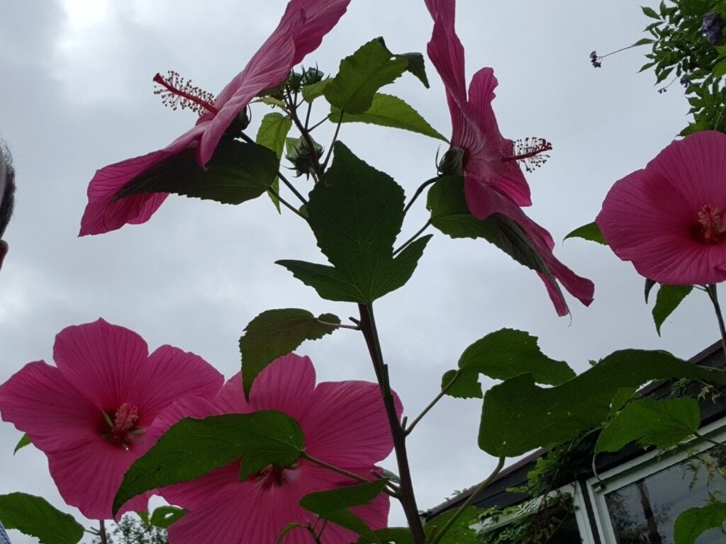 Very Rare Stunning Giant Hibiscus In Large Pot Hardy Perennial