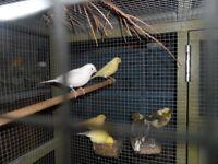 Lovely canarys for sale diamorphics and fifes lovely coulours and great feeders for this years birds