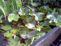 Pond plants Lilies marginal plants oxygenators