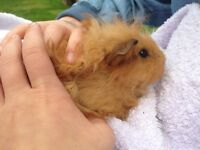 Female baby guinea pigs for sale
