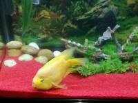 Big yellow parrot fish