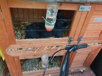 2x male rabbits black and hutch