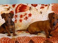 Dachshund puppies (DAUG)