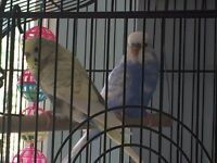 Two lovely budgerigars