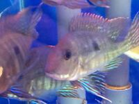 70FF GEOPHAGUS RED HEAD TAPAJOS FOR SALE READ ADD UPDATED PHOTOS