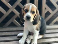 Beagle | Dogs & Puppies for Sale - Gumtree