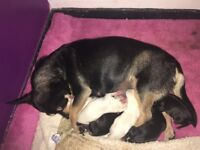 3 chihuahua pups ready to leave in 8 weeks a deposit of 100 pound will secure your puppy