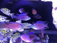 Malawi Chilid African tropical fishes fish tank aquarium Leicester