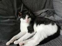 Beautiful black and white male kitten (5 mths old)