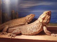 2 bearded dragons with vivarium for sale