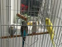 4 beautiful budgies/ parrots with a cage 2 pairs