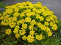 Stunning Euphorbia polychroma Plant