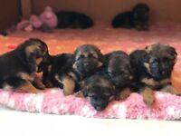 Well Bred High Quality pedigree Kc Reg German Shepherd Puppies