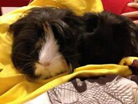 Free guinea pigs, very friend, just over a year old. FREE