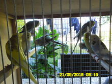 BABY ENGLISH BUDGIES Rochedale South Brisbane South East Preview