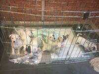 Jackrussell puppies 8 weeks old ready to go