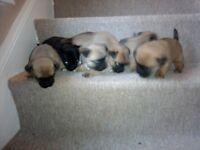 puppies. jugs males