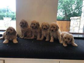 Cockapoo Pups F2