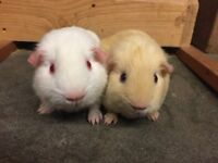 Cute pair of baby guinea pig boars (boys) for sale