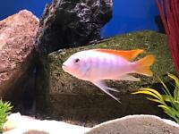Chiclids fry for sale